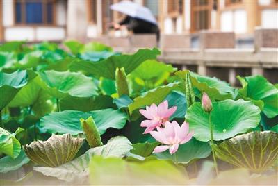 曲江池遗址公园内蒙蒙细雨中荷花正在绽放