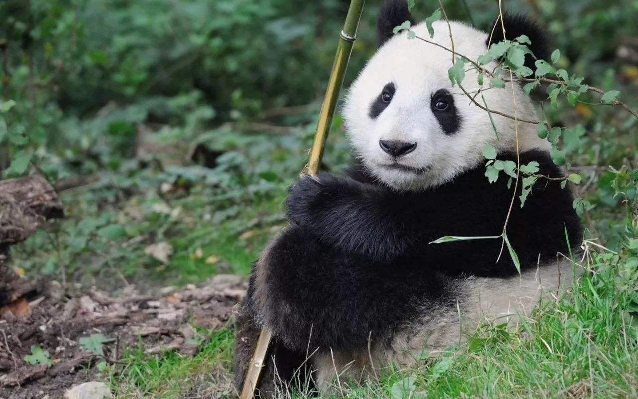 秦嶺四寶——大熊貓